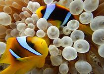Duiken in Hurghada met Seahorse Divers, Zacht koraal Rode Zee Hurghada