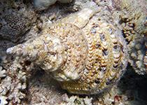 Duikplekken in Hurghada: Abu Hashish. Omschrijving en duikkaart van de duikplek Abu Hashish in Hurghada. Duiken op Abu Hashish in Hurghada doe je met Seahorse Divers!