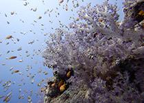 Duikplekken in Hurghada: Abu Ramada Cave. Omschrijving en duikkaart van de duikplek Abu Ramada Cave in Hurghada. Duiken op Abu Ramada Cave in Hurghada doe je met Seahorse Divers!