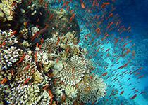 Duikplekken in Hurghada: Abu Ramada Noord. Omschrijving en duikkaart van de duikplek Abu Ramada Noord in Hurghada. Duiken op Abu Ramada Noord in Hurghada doe je met Seahorse Divers!