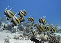 Duikplekken in Hurghada, Banana Reef