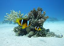 Duikplekken in Hurghada: El Aruk Chamsa. Omschrijving en duikkaart van de duikplek El Aruk Chamsa in Hurghada, Rode zee, Egypte. Duiken op El Aruk Chamsa in Hurghada doe je met Seahorse Divers!