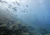 Duikplekken, duiklocaties, duikplaatsen, duikstekken, Hurghada, Shaab Pinky