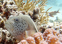 Duikplekken in Hurghada: El Aruk Giftun. Omschrijving en duikkaart van de duikplek El Aruk Giftun in Hurghada, Rode zee, Egypte. Duiken op El Aruk Giftun in Hurghada doe je met Seahorse Divers!