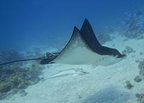 Duikplekken in Hurghada: El Fanous. Omschrijving en duikkaarten van de duikplekken El Fanous Oost en El Fanous West in Hurghada, Rode zee, Egypte. Duiken op El Fanous in Hurghada doe je met Seahorse Divers!