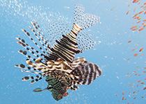Duikplekken in Hurghada: Shaab Ishta. Omschrijving en duikkaart van de duikplek Shaab Ishta in Hurghada, Rode zee, Egypte. Duiken op Shaab Ishta in Hurghada doe je met Seahorse Divers!