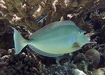 Duikplekken in Hurghada: Torfa Shaab El Erg. Omschrijving en duikkaart van de duikplek Torfa Shaab El Erg in Hurghada, Rode zee, Egypte. Duiken op Torfa Shaab El Erg in Hurghada doe je met Seahorse Divers!