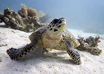 Duikplekken in Hurghada, Turtle bay
