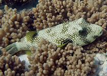 Duiken in Hurghada met Seahorse Divers, Nederlands PADI duikcentrum en PADI duikschool. Onderwaterleven, Hurghada, Rode Zee, Egypte