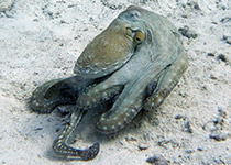 Duiken in Hurghada met Seahorse Divers, Octopus, El Fanadir
